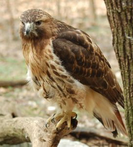 640px-Red-tailed_Hawk_Buteo_jamaicensis_Full_Body_1880px