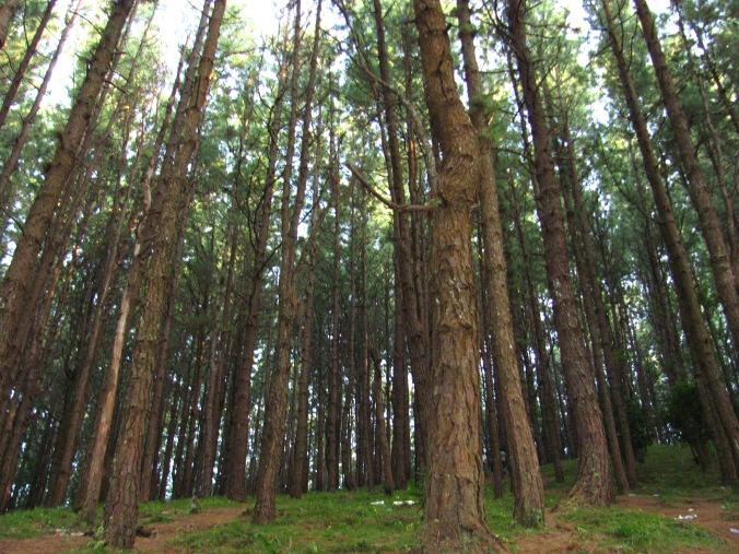 Pine_Forest,_Kuttikkanam