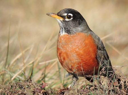 800px-American_Robin_Close-Up