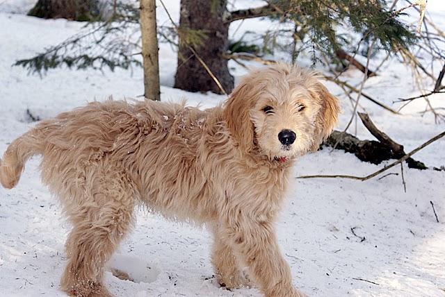 Twelve-week old golden doodle pup, by Gandydancer, via Wikipedia