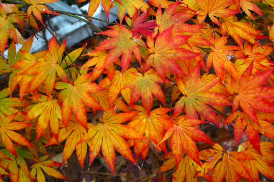 Acer-Orange-Dream