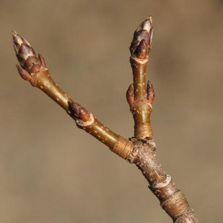 sugar_maple_buds-1516959fec716758a03